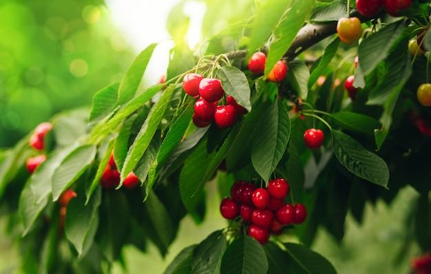 Czerwone wiśnie na gałąź tuż przed żniwem z zielonym pogodnym tłem.