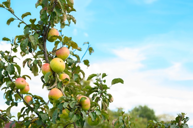 Czerwone zielone dojrzałe owoce jabłka na gałęzi jabłoni w ogrodzie na niebie