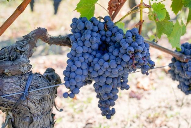 Czerwonego czarnego winogrona wino w bordeaux winnicy żniwa pojęcia gronowym winogradzie