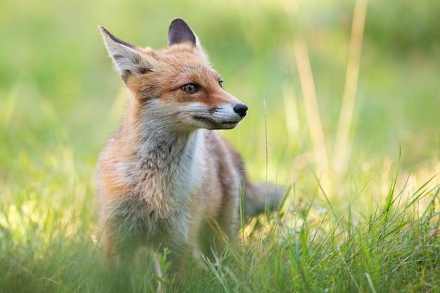 Czerwonego lisa pozycja na zielonej trawie w lecie