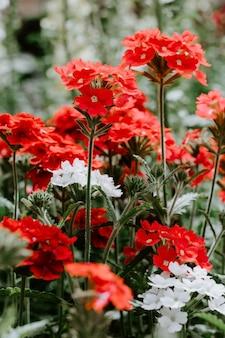 Czerwoni i biali kwiaty z zielonymi liśćmi, selekcyjnej ostrości tła plama