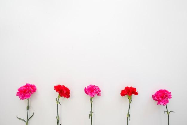 Czerwoni i różowi goździków kwiaty układali na dnie biały tło