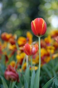 Czerwoni i żółci tulipany pod jaskrawym wiosny słońcem z zielonymi liśćmi jako tło