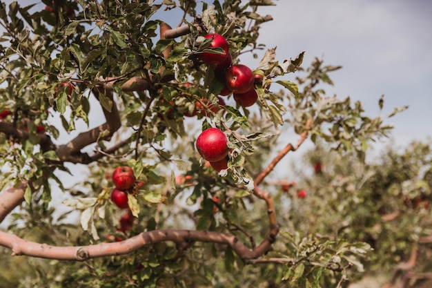 Czerwoni jabłka na jabłoni gałąź