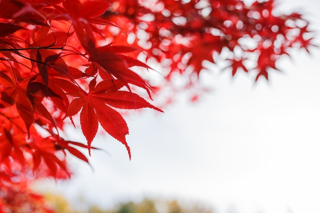 Czerwoni liście klonowi w jesień sezonie z niebieskim niebem zamazywali tło, brać od japonia.