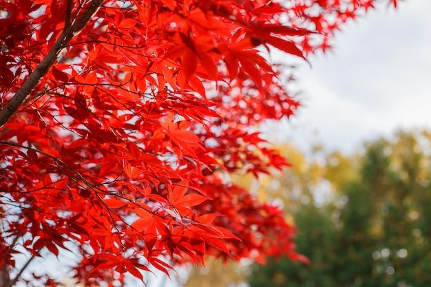 Czerwoni liście klonowi w jesień sezonie z niebieskim niebem zamazywali tło.
