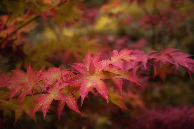 Czerwoni liście klonowi w jesieni na zamazanym naturalnym tle