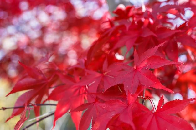 Czerwoni liście klonowi w jesieni przyprawiają z zamazanym tłem, brać w japonia.