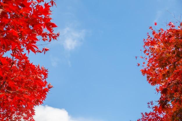 Czerwoni liście klonowi w jesieni przyprawiają