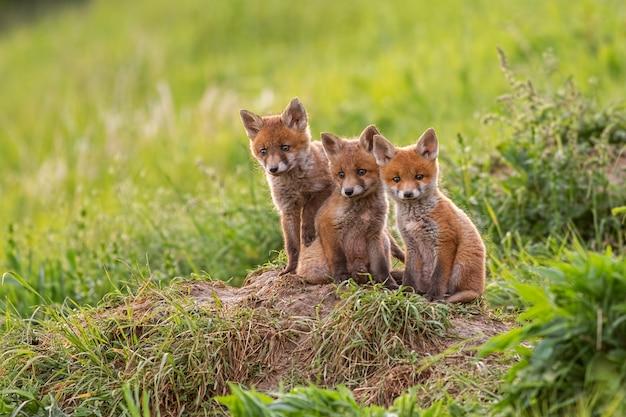 Czerwoni lisy na zielonej trawie