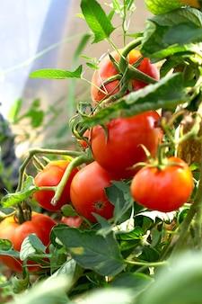 Czerwoni pomidory na gałąź