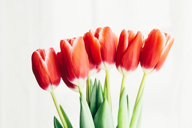 Czerwoni tulipany na białym tle. obchody dnia kobiet