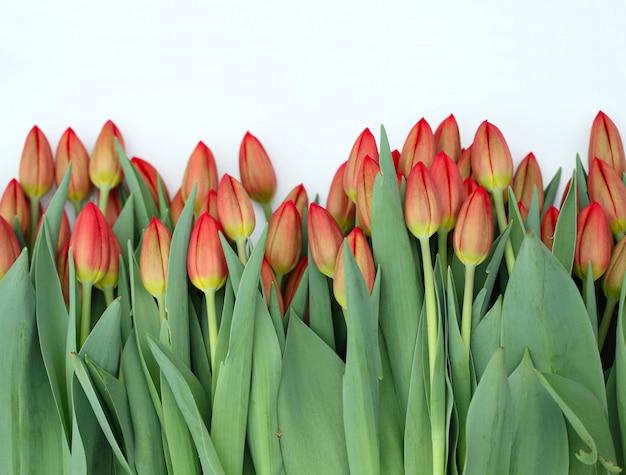 Czerwoni tulipany na białym tle