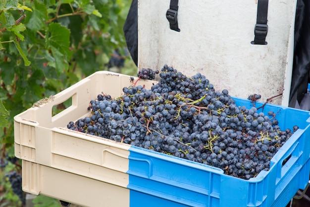 Czerwoni winogrona podczas żniwa czasu w koszu