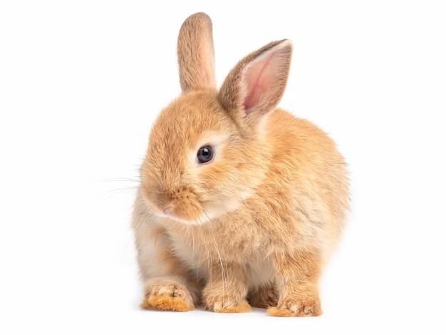 Czerwono-brązowy śliczny królik na białym tle urocza akcja młodego brązowego królika.