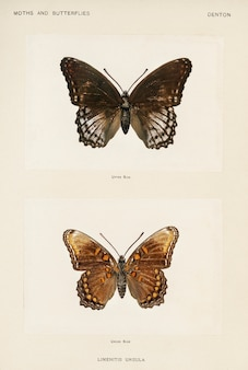 Czerwono-cętkowany purpurowy (limenitis ursula) z moths i motyli stanów zjednoczonych