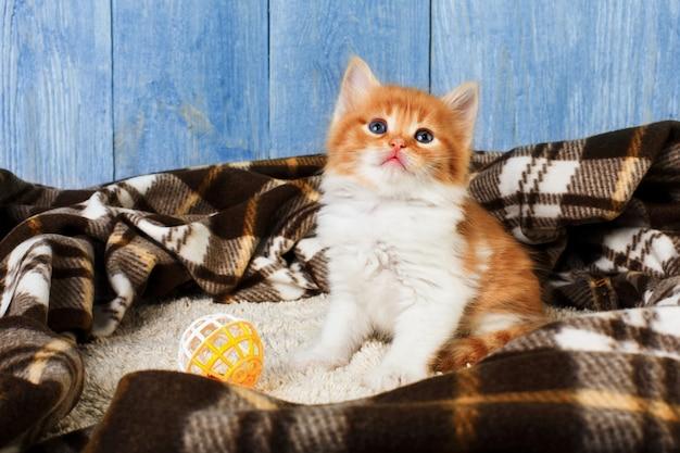 Czerwono-pomarańczowy kotek na niebieskim drewnie