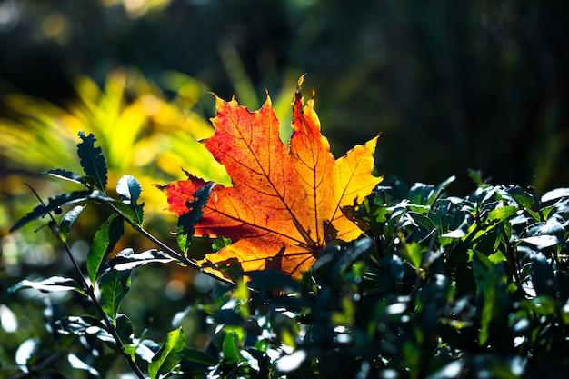 Czerwono pomarańczowy liść w świetle słonecznym na bokeh tle. piękny jesień krajobraz z zieloną trawą. kolorowe liście w parku. spadające liście naturalne tło