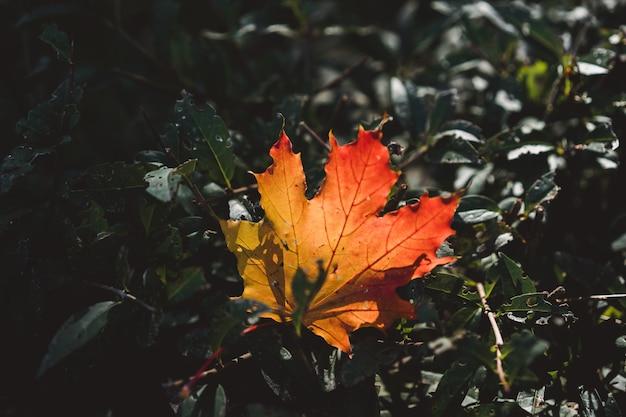 Czerwono pomarańczowy liść w świetle słonecznym na bokeh tle. zielony ton. piękny jesień krajobraz z zieloną trawą. kolorowe liście w parku. spadające liście naturalne tło