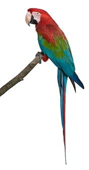 Czerwono-zielona ara perching na gałęzi