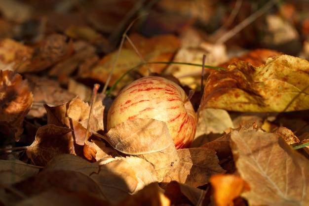 Czerwono-żółte paski jabłko w uschniętych liściach o zachodzie słońca. pojęcie jesieni jako sezonu żniwnego. selektywne ustawianie ostrości