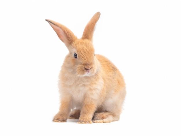 Czerwonobrązowy śliczny dziecko królik odizolowywający na białym tle.
