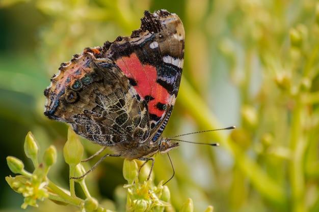 Czerwony admirał motyl