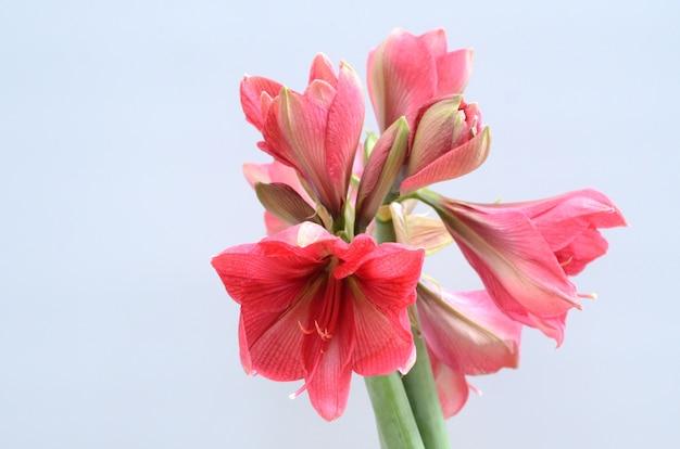 Czerwony amarylka kwiat dla tła