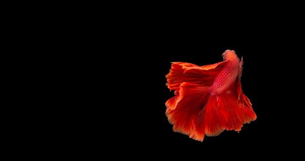 Czerwony betta ryb, bojownik syjamski w ruchu na czarnym tle.