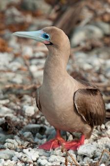 Czerwony boob (sula sula), darwin bay, wyspa genovesa, wyspy galapagos, ekwador