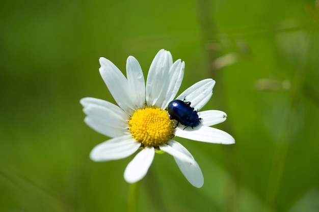 Czerwony chrząszcz na zbliżenie kwiat rumianku kukurydzy.