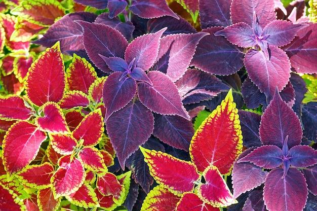 Czerwony coleus i fioletowy zbliżenie roślin (tło natury)