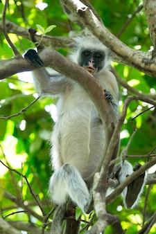 Czerwony colobus piliocolobus kirki małpa na zdeponowanym drewnie, las jozani, zanzibar, tanzania