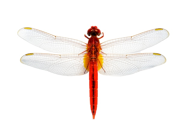 Czerwony dragonfly na białym tle