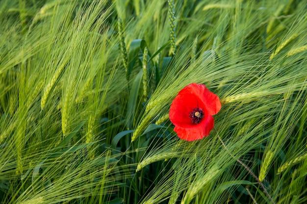 Czerwony dziki mak w polu zielonego żyta