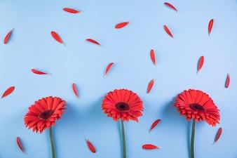 Czerwony gerbera kwitnie z płatkami na błękitnym tle