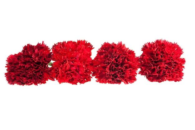 Czerwony goździk na białym tle.