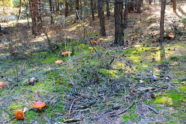 Czerwony grzyb (amanita muscaria, fly ageric, fly amanita) w jesiennym lesie