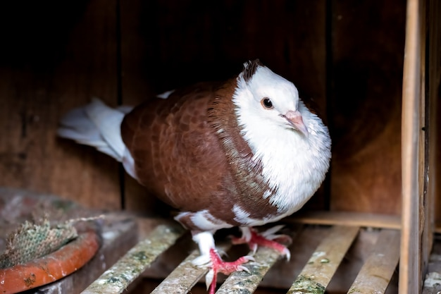 Czerwony i biały gołąb dwukolorowy stojący na poddaszu z bliska
