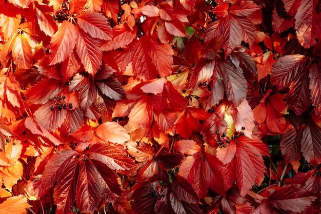 Czerwony i pomarańczowy jesień liści tło nad ścianą