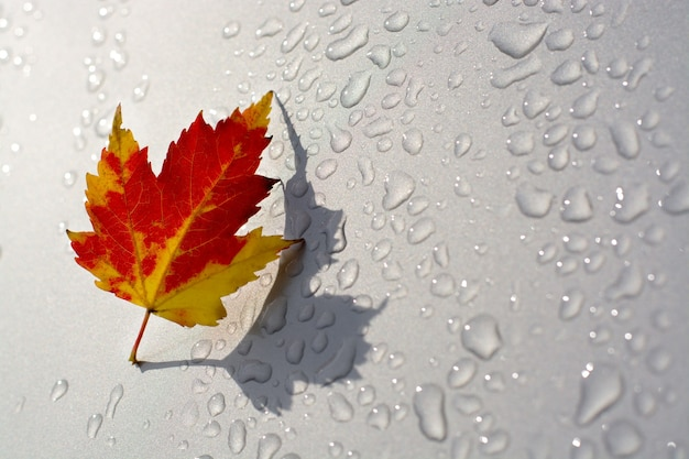 Czerwony i żółty liść klonu z cieniem na srebrnym lub szarym tle z kroplami deszczu opada zgoda