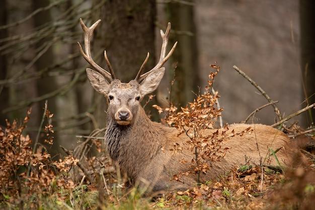 Czerwony jeleń, cervus elaphus, kłama w jesień lesie.