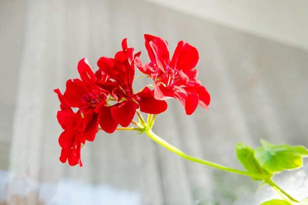 Czerwony koral geranium. pelargonia. kwietnik. rośliny ogrodowe. rośliny domowe. piękny kwiatostan zielone liście