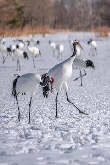 Czerwony Koronowany żuraw W Zimie Premium Zdjęcia
