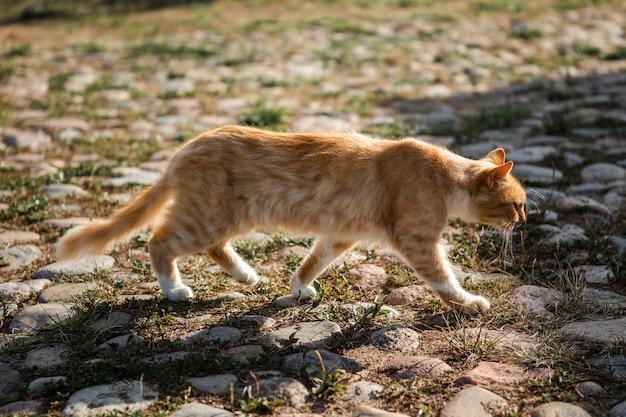 Czerwony kot chodzi po bruku starego miasta.