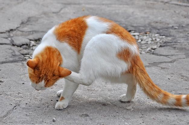 Czerwony kot drapie pchły w podwórku na zewnątrz na drodze.