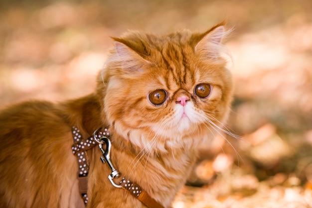 Czerwony kot perski na smyczy spacerujący po podwórku