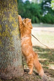 Czerwony kot perski ostrzy pazury o drzewo