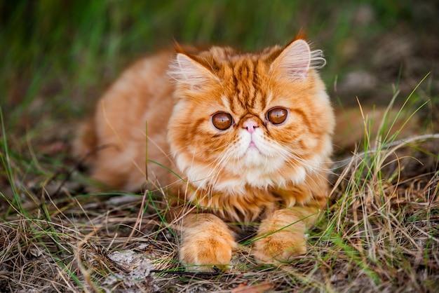 Czerwony kot perski spaceruje po leśnej trawie