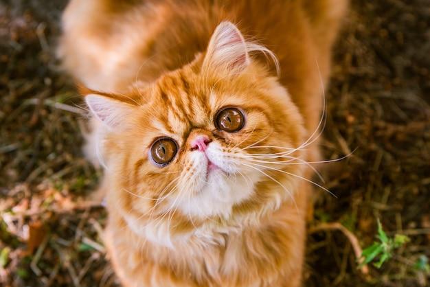 Czerwony kot perski w jesiennym tle widok z góry